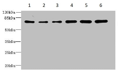 Western blot - Anti-ZNF555 antibody (ab235432)