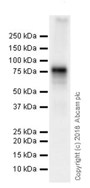 Western blot - Anti-DDX4 / MVH antibody [EPR21789] (ab235442)