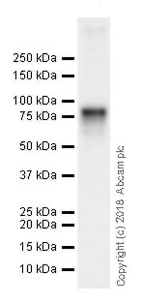 Western blot - Anti-DDX4 / MVH antibody [EPR21785] (ab235443)