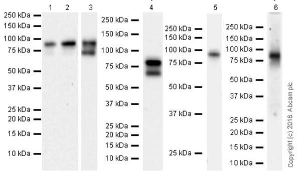 Western blot - Anti-Quiescin Q6 antibody [EPR21866] (ab235444)