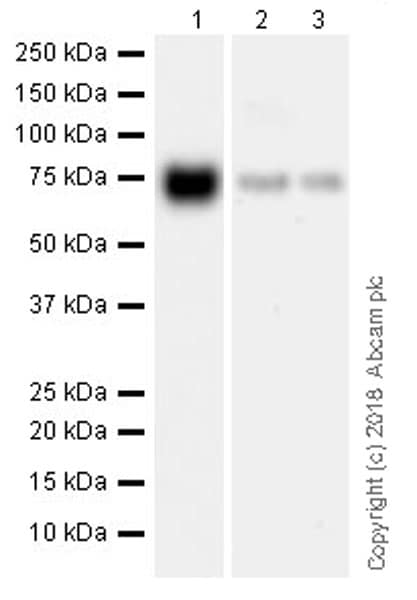 Western blot - Anti-TRP1 antibody [EPR21956] (ab235446)