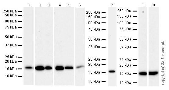 Western blot - Anti-Acid phosphatase antibody [EPR21787] (ab235448)