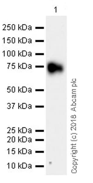 Western blot - Anti-DPEP3 antibody [EPR21862] (ab235451)