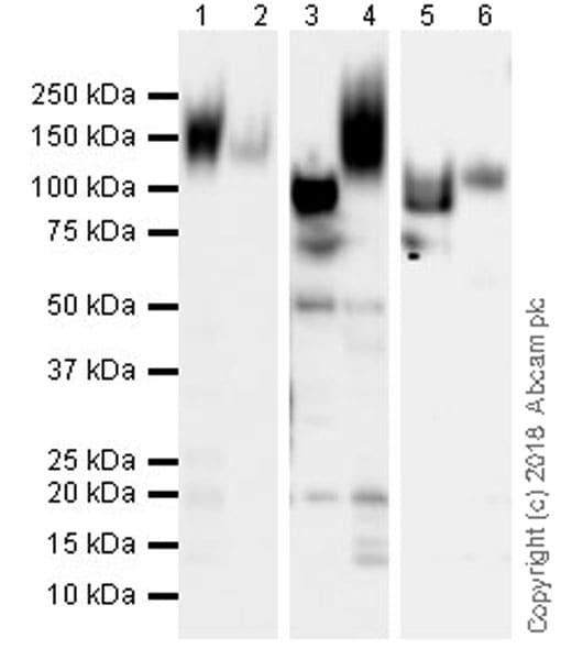 Western blot - Anti-CD43 antibody [EPR21903] (ab235452)