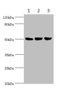 Western blot - Anti-ORC4L antibody (ab235514)