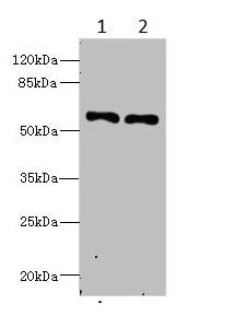 Western blot - Anti-IFRD2 antibody (ab235520)