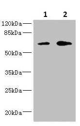 Western blot - Anti-REC8 antibody (ab235523)