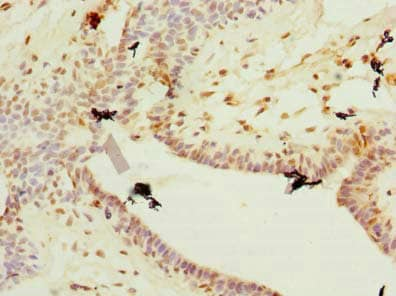 Immunohistochemistry (Formalin/PFA-fixed paraffin-embedded sections) - Anti-PLET1 antibody (ab235541)