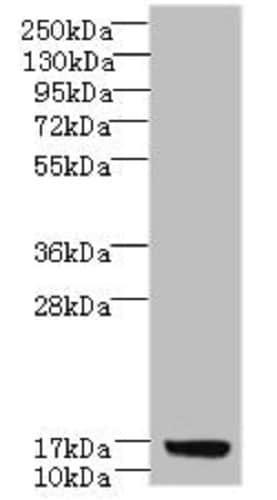 Western blot - Anti-C7orf34 antibody (ab235542)