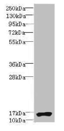 Western blot - Anti-TRA16 antibody (ab235543)