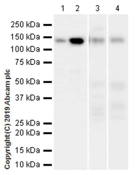 Western blot - Anti-HDAC4 antibody [EPR22937-157] (ab235583)