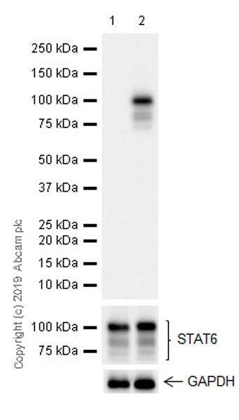 Western blot - Anti-STAT6 (phospho Y641) antibody [EPR22599-52] (ab235591)