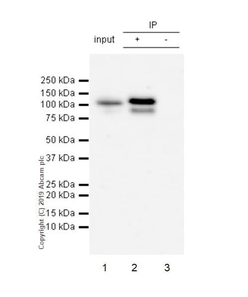 Immunoprecipitation - Anti-STAT6 (phospho Y641) antibody [EPR22599-52] (ab235591)