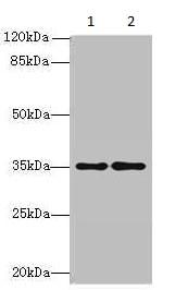 Western blot - Anti-SDSL antibody (ab235597)