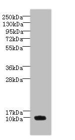 Western blot - Anti-PNRC2 antibody (ab235599)