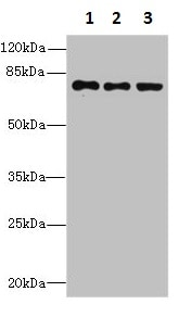 Western blot - Anti-ZNF614 antibody (ab235600)