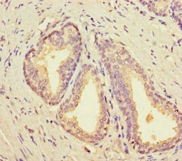 Immunohistochemistry (Formalin/PFA-fixed paraffin-embedded sections) - Anti-Sterol carrier protein 2 antibody (ab235603)