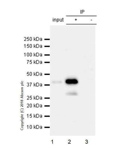 Immunoprecipitation - Anti-Connexin 43 / GJA1 antibody [EPR21153] - BSA and Azide free (ab235625)