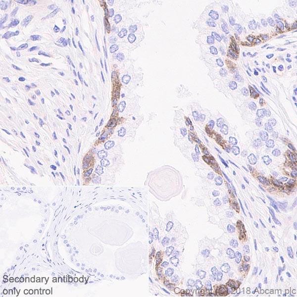 Immunohistochemistry (Formalin/PFA-fixed paraffin-embedded sections) - Anti-Connexin 43 / GJA1 antibody [EPR21153] - BSA and Azide free (ab235625)