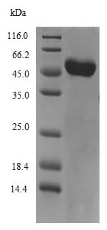 SDS-PAGE - Recombinant Mouse Vitamin D Binding protein (His tag) (ab235708)