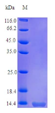 SDS-PAGE - Recombinant human TNFSF18/GITRL protein (Active) (ab235717)