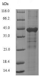 SDS-PAGE - Recombinant Human CEACAM1 protein (ab235740)