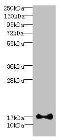 Western blot - Anti-ISCA2 antibody (ab235776)