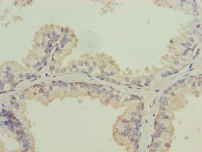 Immunohistochemistry (Formalin/PFA-fixed paraffin-embedded sections) - Anti-ISCA2 antibody (ab235776)