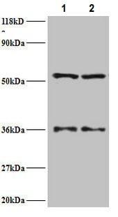 Western blot - Anti-Seryl-tRNA synthetase/SERS antibody (ab235789)