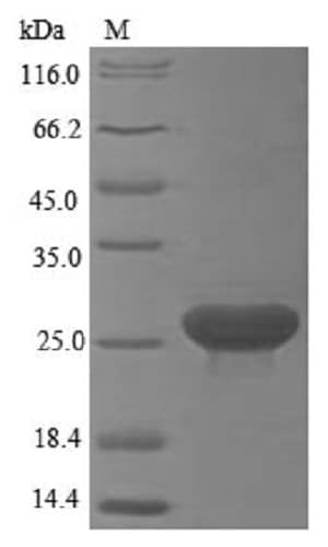 SDS-PAGE - Recombinant Human LY6G6D protein (Tagged) (ab235809)