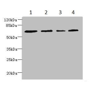 Western blot - Anti-CSGALNACT2 antibody (ab235825)