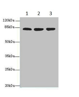 Western blot - Anti-ACAP1 antibody (ab235827)