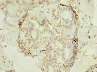 Immunohistochemistry (Formalin/PFA-fixed paraffin-embedded sections) - Anti-FAM53B antibody (ab235829)