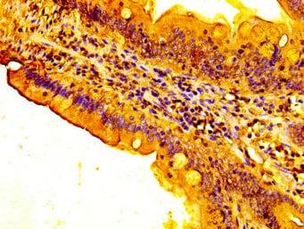 Immunohistochemistry (Formalin/PFA-fixed paraffin-embedded sections) - Anti-FUT3 antibody (ab235831)
