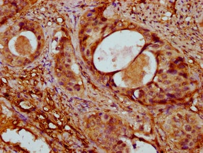 Immunohistochemistry (Formalin/PFA-fixed paraffin-embedded sections) - Anti-Alpha Skeletal Muscle Actin antibody (ab235928)