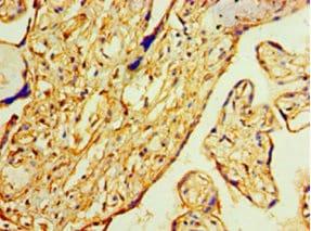 Immunohistochemistry (Formalin/PFA-fixed paraffin-embedded sections) - Anti-Annexin-2/ANXA2 antibody (ab235939)