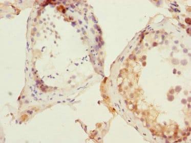 Immunohistochemistry (Formalin/PFA-fixed paraffin-embedded sections) - Anti-APE1 antibody (ab235942)