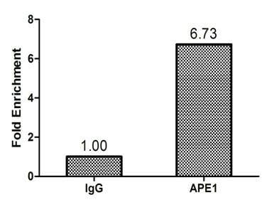 ChIP - Anti-APE1 antibody (ab235942)