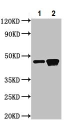 Western blot - Anti-G protein alpha S antibody (ab235956)