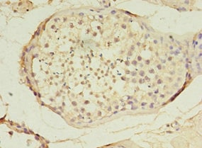 Immunohistochemistry (Formalin/PFA-fixed paraffin-embedded sections) - Anti-TET3 antibody (ab235965)