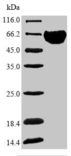 SDS-PAGE - Recombinant Human Band 3/AE 1 protein (Tagged) (ab235968)