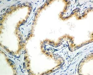 Immunohistochemistry (Formalin/PFA-fixed paraffin-embedded sections) - Anti-eIF2A antibody [EPR11042] - BSA and Azide free (ab236012)