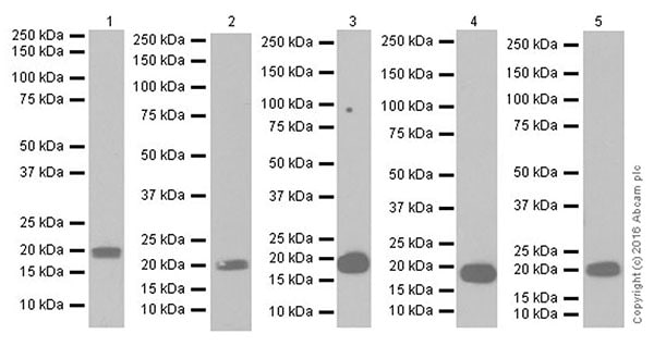Western blot - Anti-MAX antibody [EPR19352] - BSA and Azide free (ab236028)