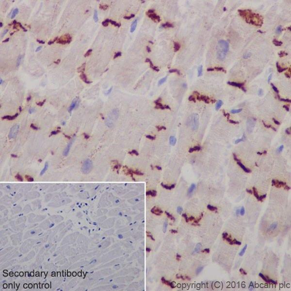 Immunohistochemistry (Formalin/PFA-fixed paraffin-embedded sections) - Anti-N Cadherin antibody [EPR19654] - BSA and Azide free (ab236032)