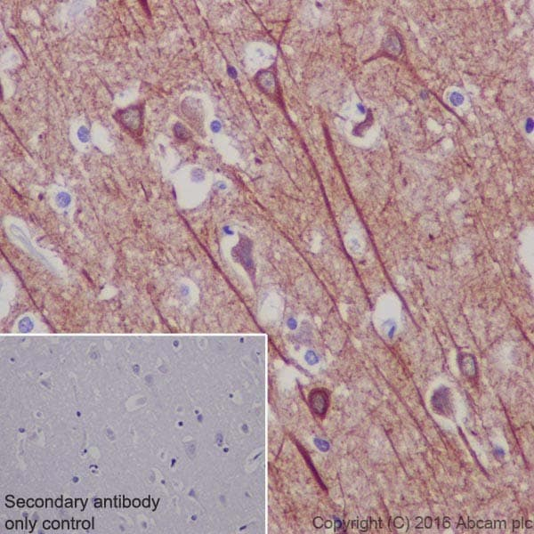Immunohistochemistry (Formalin/PFA-fixed paraffin-embedded sections) - Anti-MAP2 antibody [EPR19691] - BSA and Azide free (ab236033)