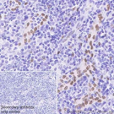 Immunohistochemistry (Formalin/PFA-fixed paraffin-embedded sections) - Anti-IL-33 antibody [EPR20417] - BSA and Azide free (ab236036)