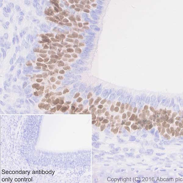 Immunohistochemistry (Formalin/PFA-fixed paraffin-embedded sections) - Anti-Lhx2/LH2 antibody [EPR20449] - BSA and Azide free (ab236037)