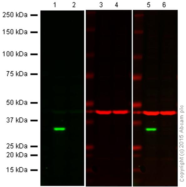 Western blot - Anti-Cdk4 antibody [EPR2513Y] - BSA and Azide free (ab236042)