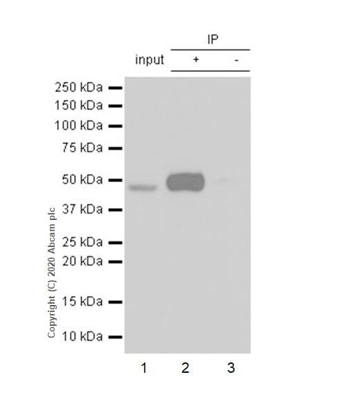 Immunoprecipitation - Anti-Transcription factor AP-2-alpha antibody [EPR2688(2)] - BSA and Azide free (ab236043)