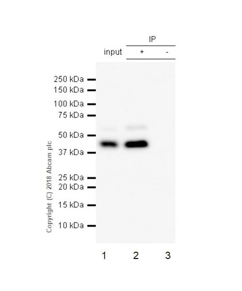 Immunoprecipitation - Anti-Cdk9 antibody [EPR3119Y] - BSA and Azide free (ab236045)